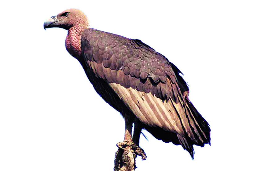 सह्य़ाद्री निसर्ग मित्र संस्थेने २००३ पासून कोकणात गिधाडे वाचवण्यासाठीच्या मोहिमा सुरू केल्या आहेत