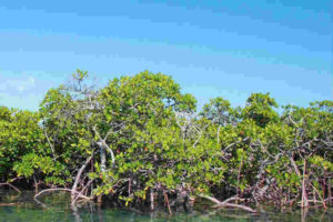 mangrove land