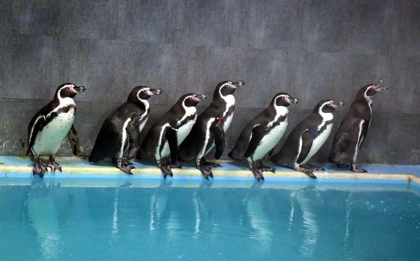 येत्या १७ तारखेपासून मुंबईकरांना भायखळा येथील वीरमाता जिजाबाई भोसले उद्यान आणि प्राणिसंग्रहालयातील पेंग्विनच्या दर्शनाचा आनंद लुटता येणार आहे. (छाया - दिलीप कागडा)