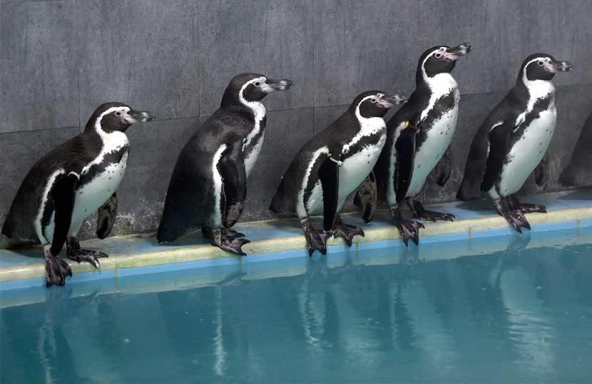 वर्षांतून साधरणत: दोन वेळा अंडी घातली जातात. अंडी ३५ दिवस उबवल्यानंतर त्यातून पिले बाहेर येतात. सर्व परिस्थिती अनुकूल असेल तर दोन्ही पिले जिवंत राहतात. पेंग्विन साधारण १५ ते १८ वर्षे जगतात. (छाया - पीटीआय)