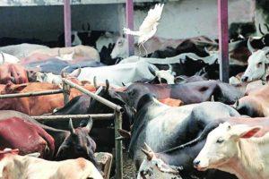 Cattle slaughter , beef ban, Supreme Court , SC , Supreme Court notice to Centre , Loksatta, Loksatta news, Marathi, Marathi news