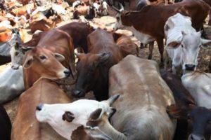 PM Narendra Modi , Amit Shah , No truck ferrying paralysed cow due to fear Meerut , beef, Loksatta, Loksatta news, Marathi, Marathi news