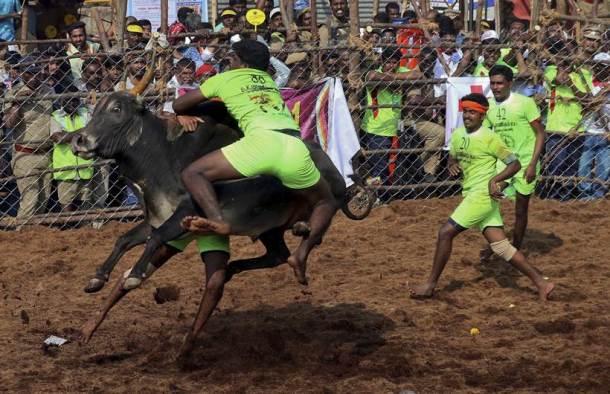 मदुराई येथील पालमेडू गावात या खेळाचा थरार पाहायला मिळाला. (छाया सौजन्य- AP Photo)
