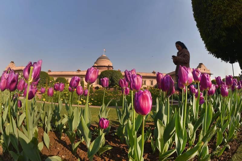 रंगीबेरंगी ८ प्रजातींच्या ट्युलिप्सच्या बागा या राष्ट्रपती भवनातील प्रमुख आकर्षण आहे. येथे ट्युलिप्सची एकूण १० हजार रोपटी आहेत. ही ट्युलिप्स खास नेदरलँड्स वरून मागवण्यात आली.(छाया सौजन्य : PTI)